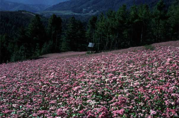 Pink blossoms of buckwheat fields cover the hill sides of Bumthang in August and September